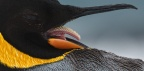 King Penguin tongue