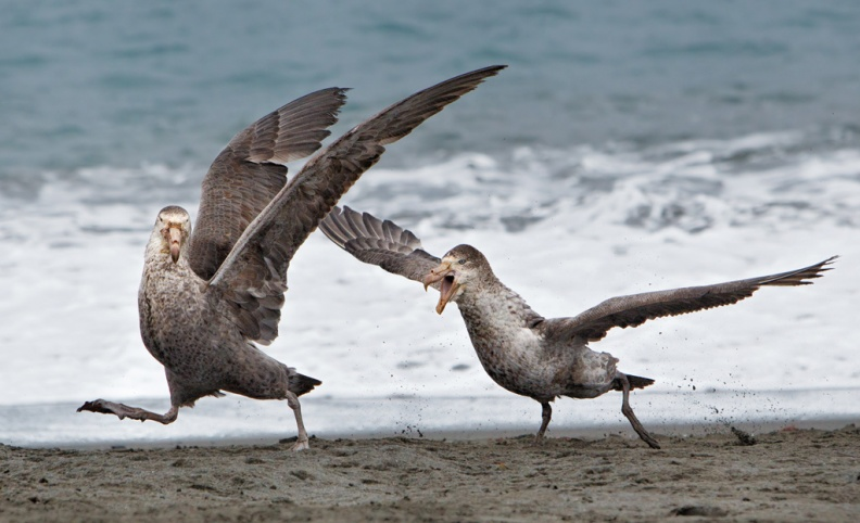 Southern Giant Petrels fighting
