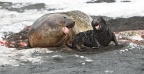 New-born Elephant Seal with mom