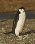 Chinstrap Penguin 1