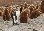 King Penguin adult with chick 1