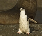 Chinstrap Penguin 2