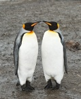 King Penguins 6