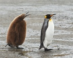 King Penguin adult with chick 3