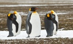 King Penguins 7