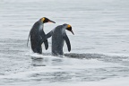 King Penguins 8