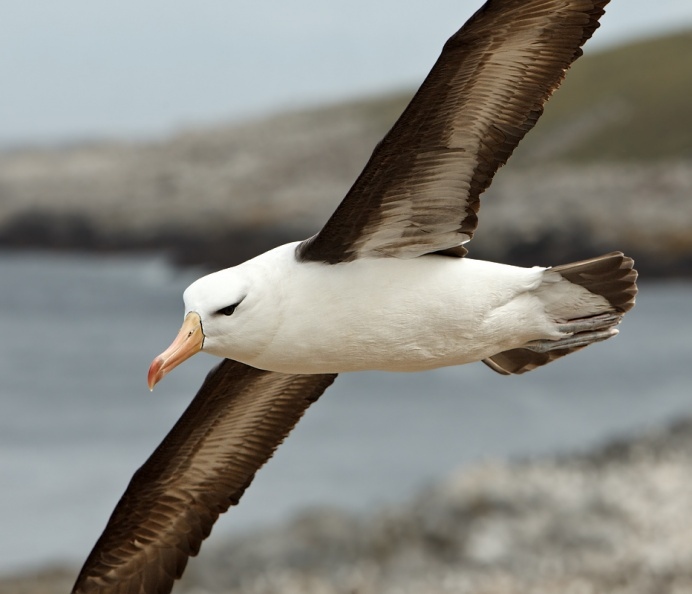 Black-browed Albatross colony 3.jpg