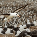 Black-browed Albatross colony 2