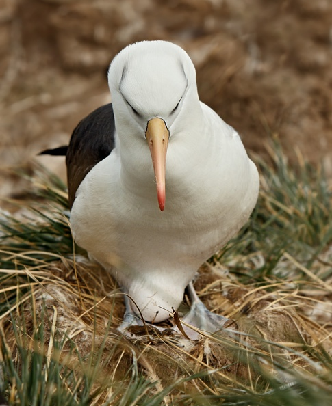 Black-browed Albatross on egg.jpg