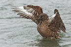 Brown Skua 1