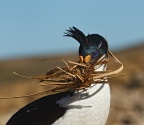 Imperial (Blue-eyed) Shag with nesting material 2