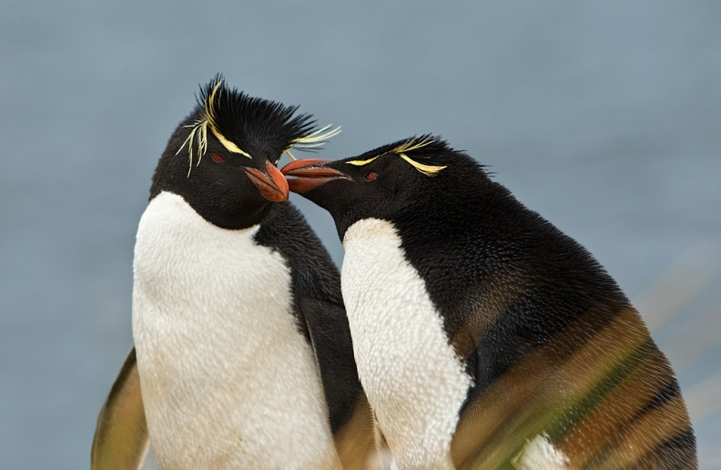 Rockhopper Penguin pair.jpg