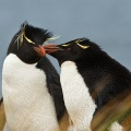 Rockhopper Penguin pair