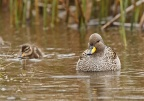 Speckled Teal