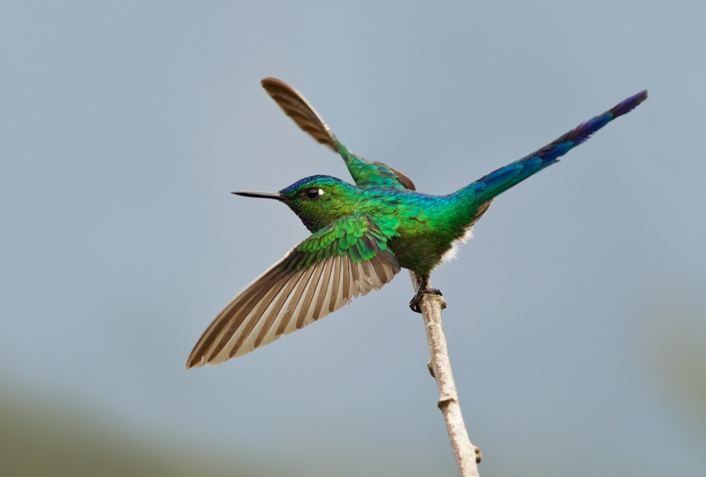 Long-tailed Sylph 2 - Peru