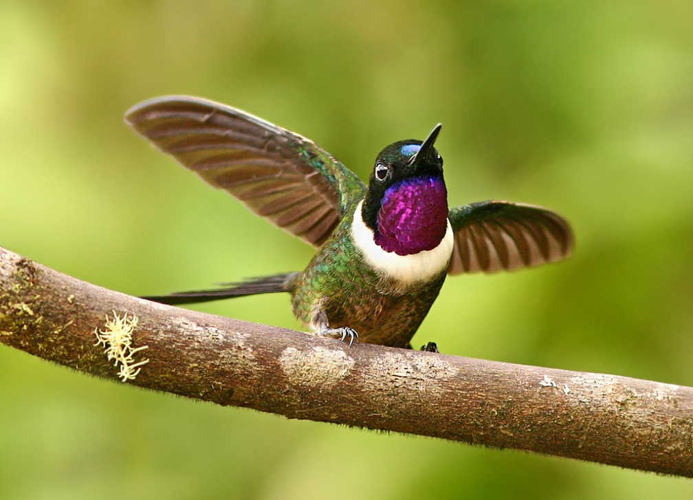 Amethyst-throated Sunangel - Ecuador