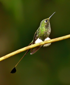 Booted Racket-tail - Ecuador