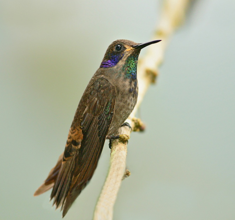 Brown Violet-ear 2 - Ecuador