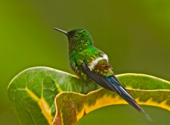 Green Thorntail - Ecuador