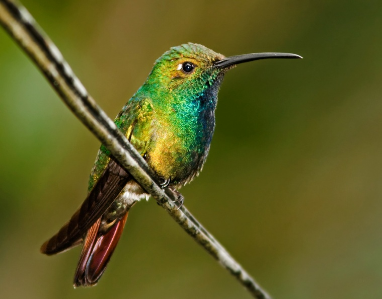 Green-breasted Mango 3 - Costa Rica.jpg