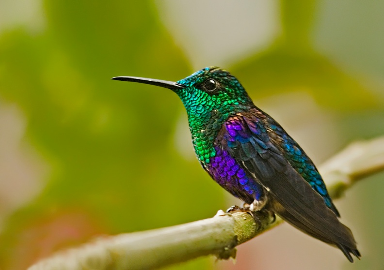 Green-crowned Woodnymph - Ecuador.jpg