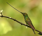 Sword-billed Hummingbird - Ecuador