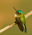 Violet-tailed Sylph female - Ecuador
