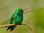 West Andean Emerald 1 - Ecuador