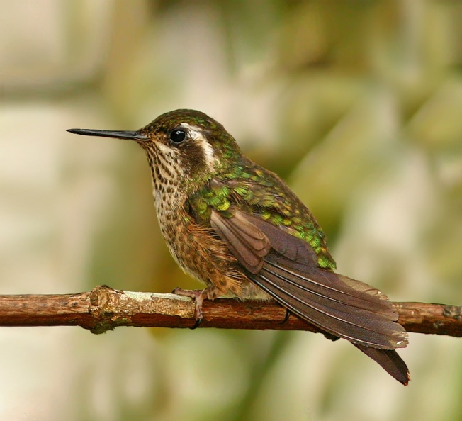 Speckled Hummingbird - Ecuador.jpg