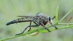Robber Fly 1