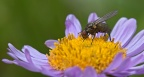 Fly & Purple Aster